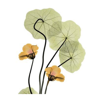 Nasturtium Bouquet by Albert Koetsier