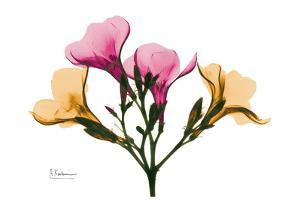Oleander by Albert Koetsier