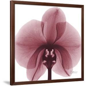 Orchid Marcela by Albert Koetsier