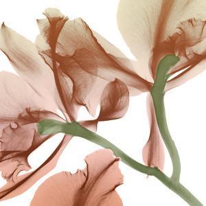 Peach Luster Cyclamen 2 by Albert Koetsier