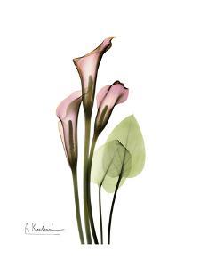 Pink Calla Lily Portrait by Albert Koetsier