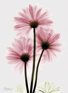 Pink Gerbera Triple by Albert Koetsier