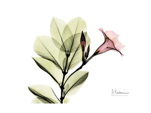 Pink Mandelilla by Albert Koetsier