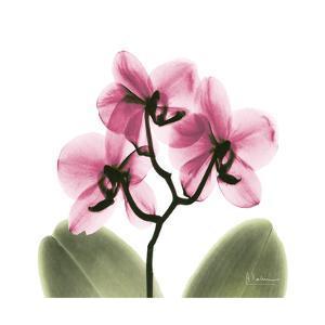 Pink Orchid by Albert Koetsier