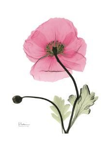 Pink Poppy by Albert Koetsier