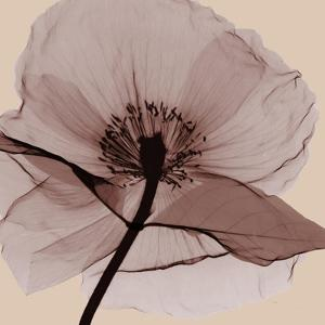 Poppy Love by Albert Koetsier
