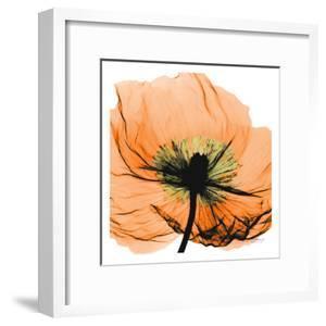 Poppy Orange by Albert Koetsier