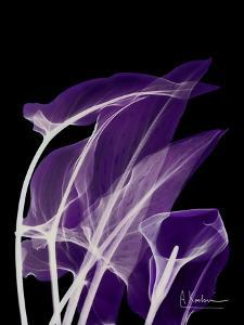 Purple Calla by Albert Koetsier