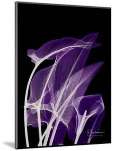 Purple Calla by Albert Koetsier