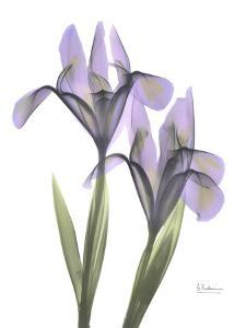 Purple Iris by Albert Koetsier