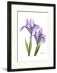 Purple Iris by Albert Koetsier