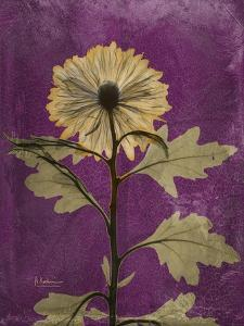 Purple Opus Chrysanthemum by Albert Koetsier