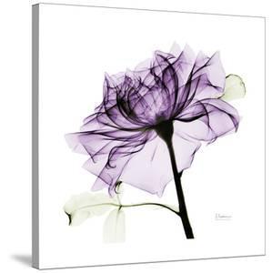 Purple Rose 2 by Albert Koetsier