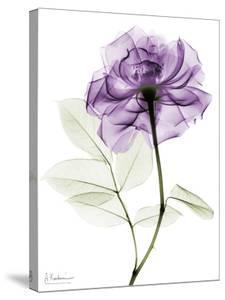 Purple Rose Portrait 2 by Albert Koetsier