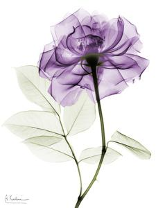 Purple Rose Portrait 2 by Albert Koetsier