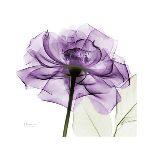Purple Rose by Albert Koetsier