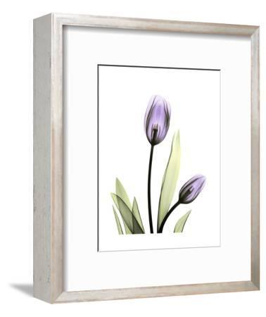 Purple Tulip Portrait 1