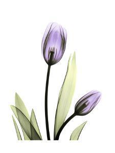 Purple Tulip Portrait 1 by Albert Koetsier