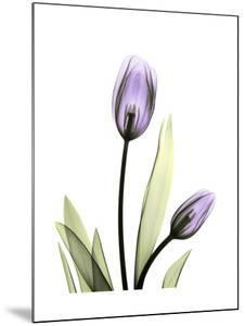 Purple Tulip Portrait 1 by Albert Koetsier