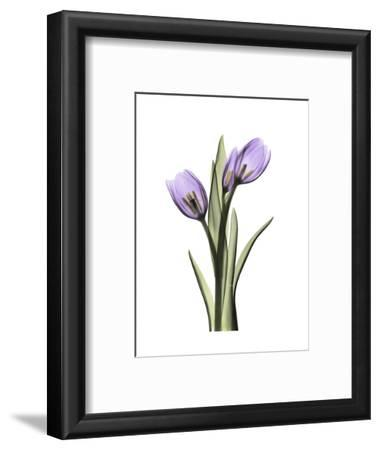 Purple Tulip Portrait 2