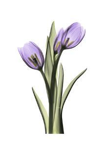 Purple Tulip Portrait 2 by Albert Koetsier