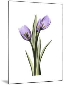 Purple Tulip Portrait 2 by Albert Koetsier