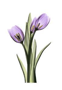 Purple Tulips II by Albert Koetsier