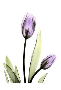 Purple Tulips by Albert Koetsier