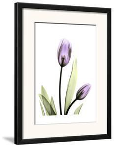 Purple Tulips by Albert Koetsier