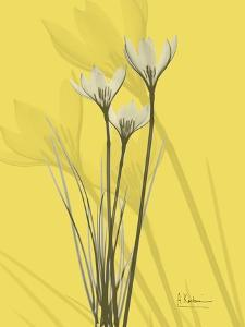 Rain Lily on Canary by Albert Koetsier