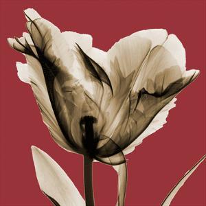 Red Luster Tulip by Albert Koetsier