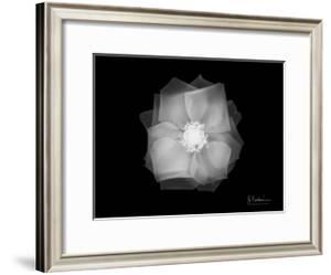 Rose 2 by Albert Koetsier