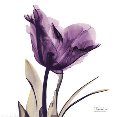 Royal Purple Parrot Tulip by Albert Koetsier