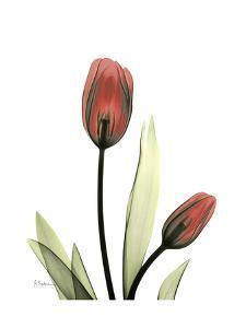 Ruby Tulip by Albert Koetsier