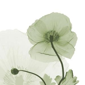 Sage Iceland Poppy by Albert Koetsier