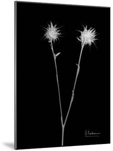 Seed Pods 1 by Albert Koetsier