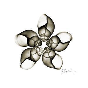 Sepia Snail Shells 1 by Albert Koetsier