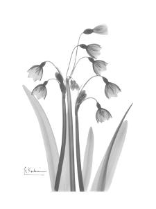 Snow Drop in Black and White by Albert Koetsier
