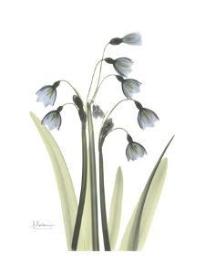 Snow Drop in Color by Albert Koetsier