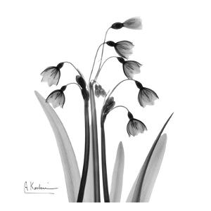 Snowdrop Black and White by Albert Koetsier