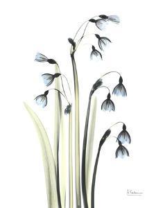 Snowdrop Galanthus by Albert Koetsier