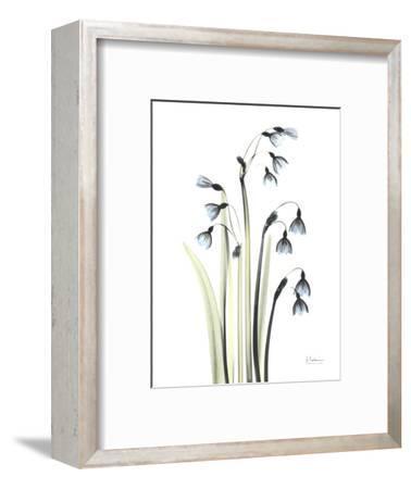 Snowdrop Galanthus