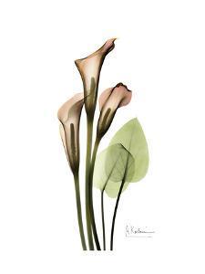 Soft Calla Lily Portrait by Albert Koetsier
