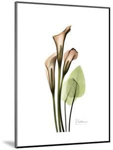 Soft Calla Lily Portrait by Albert Koetsier