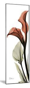 Soft Calla Lily by Albert Koetsier