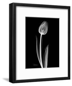 Solo Tulip Xray by Albert Koetsier