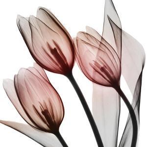 Splendid Tulips by Albert Koetsier