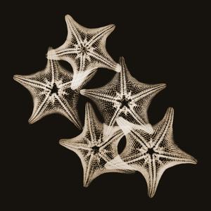 Starfish Sepia by Albert Koetsier