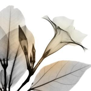 Sunrise Mandelilla by Albert Koetsier