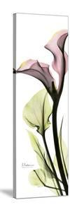 Tall Pink Calla Lily by Albert Koetsier